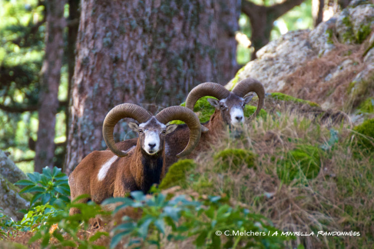 Balade-amuvrella-mouflon-sudcorse-cors.jpg