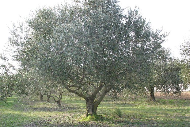 Plante-corsica-olivier-maquis